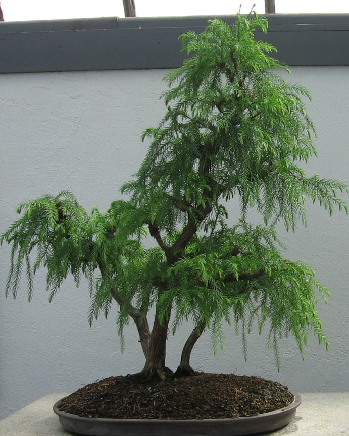 "Japanese Red Cedar Tree Seeds Cryptomeria Japonica ""Sugi"" BONSAI"