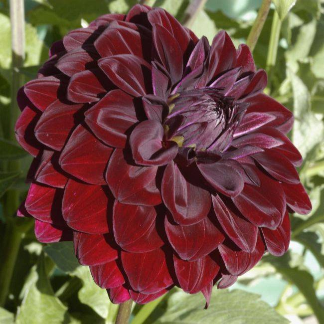 Black Beauty (Dahlia Pinnata) Seeds