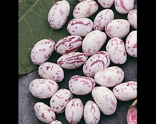 Dwarf Horticulture Taylor Strain Bean Seeds