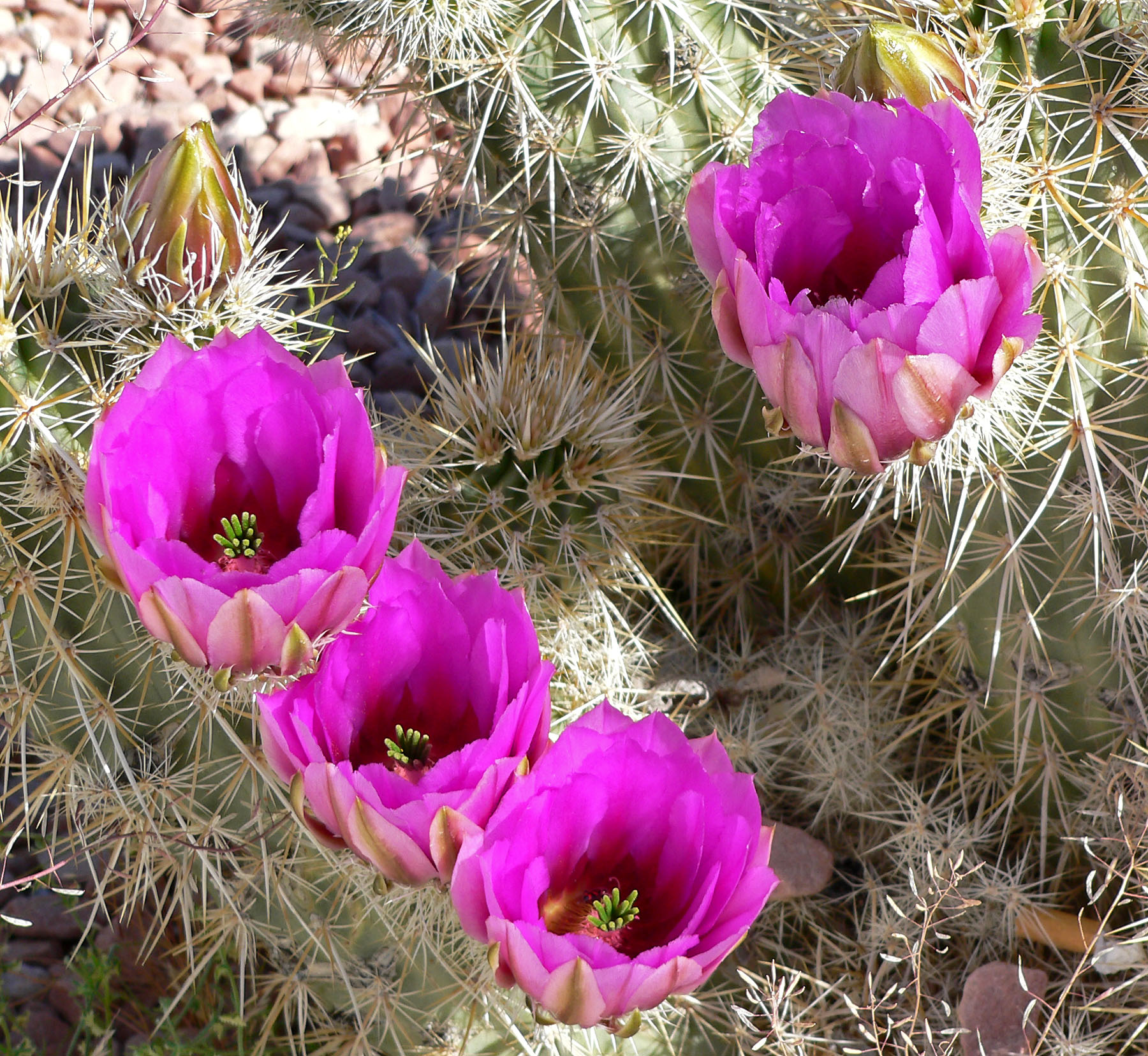 5 Echinocereus Engelmannii Seeds (Strawberry Hedgehog Cactus)
