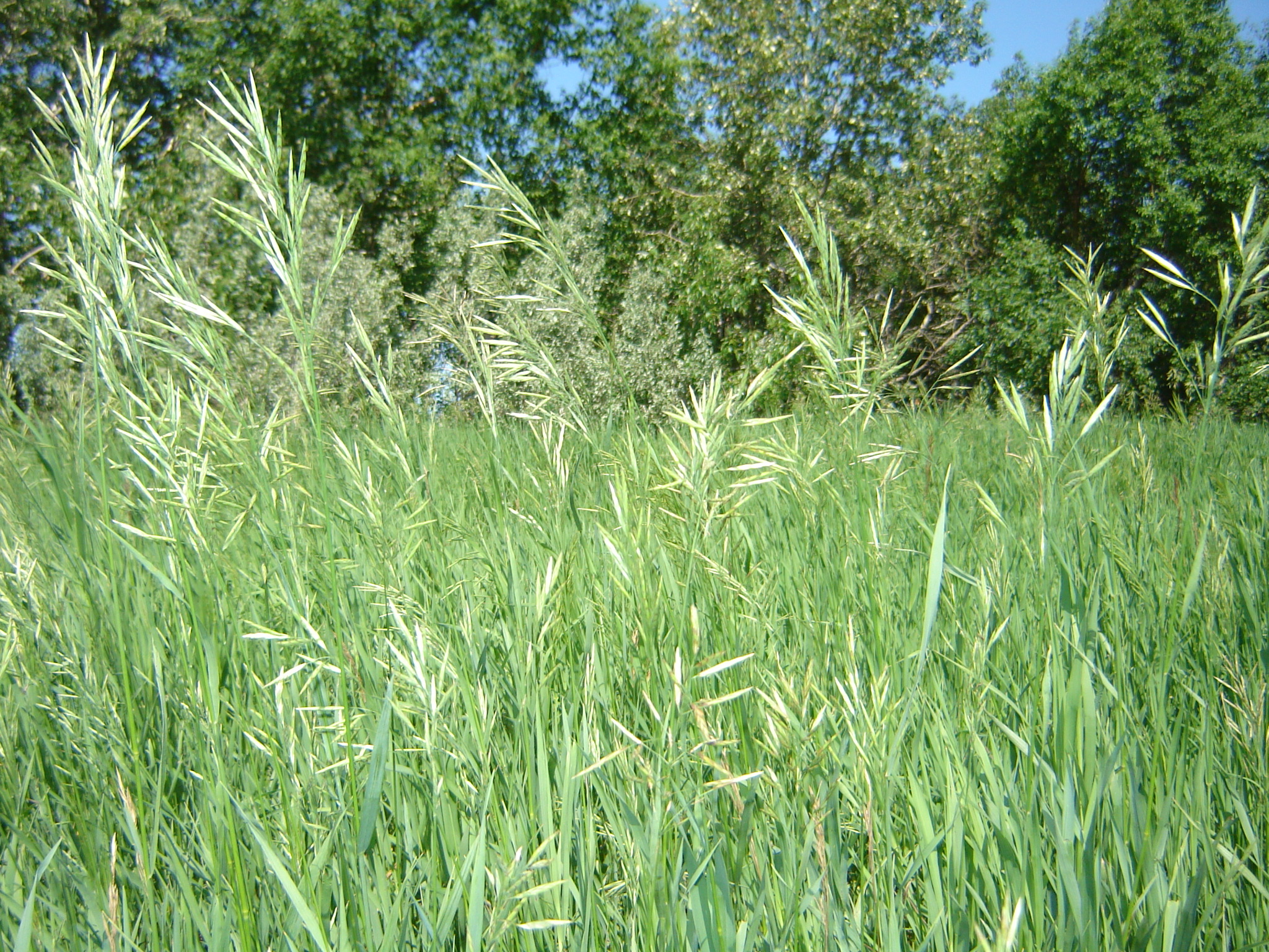 100 Sweet Grass Seeds (Heirochloe Odorata) Bulk Deal - Very Rare
