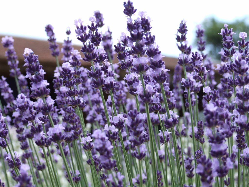 Lavender Vera - Lavandula Angustifolia Seeds (English Lavender) - Click Image to Close