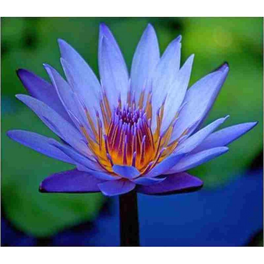 nymphaea caerulea seeds sacred egyptian lily blue lotus  ., Natural flower