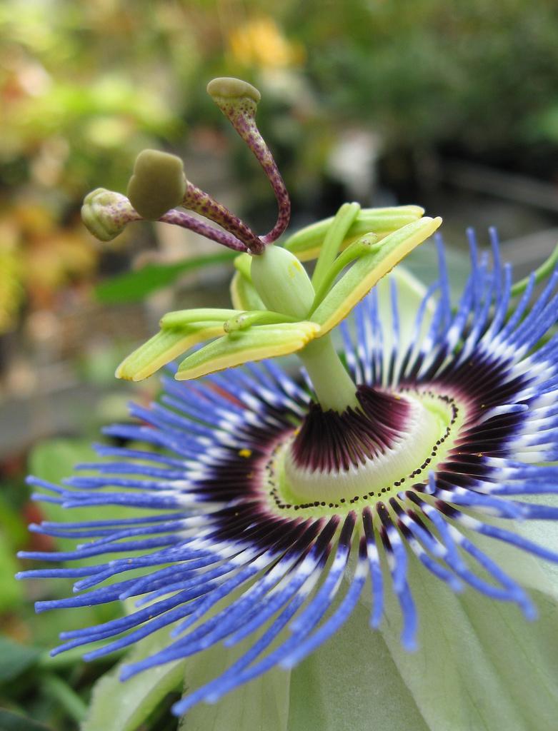 passion flower blue passiflora caerulea 20 seeds ebay. Black Bedroom Furniture Sets. Home Design Ideas