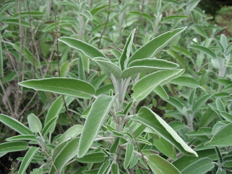 Salvia Officinalis Plant Salvia Officinalis Garden