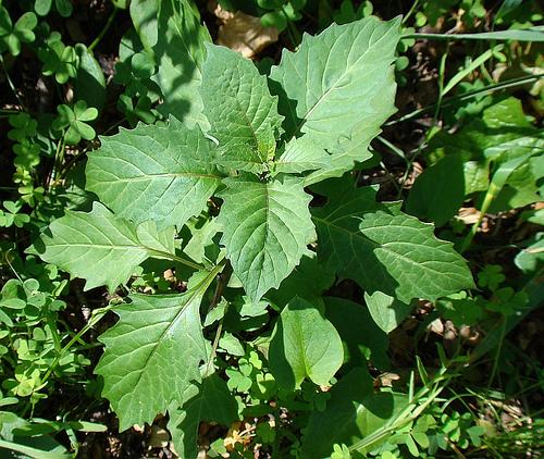 Solanum Nigrum Solanum Nigrum Black