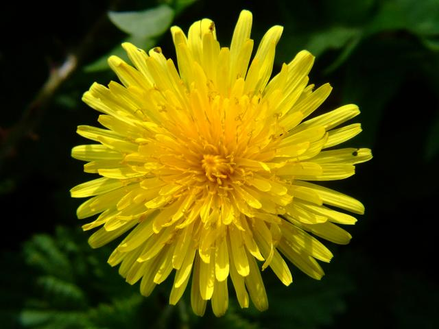 Dandelion Seeds (Taraxacum Officinale) Flower Organic Tarassaco