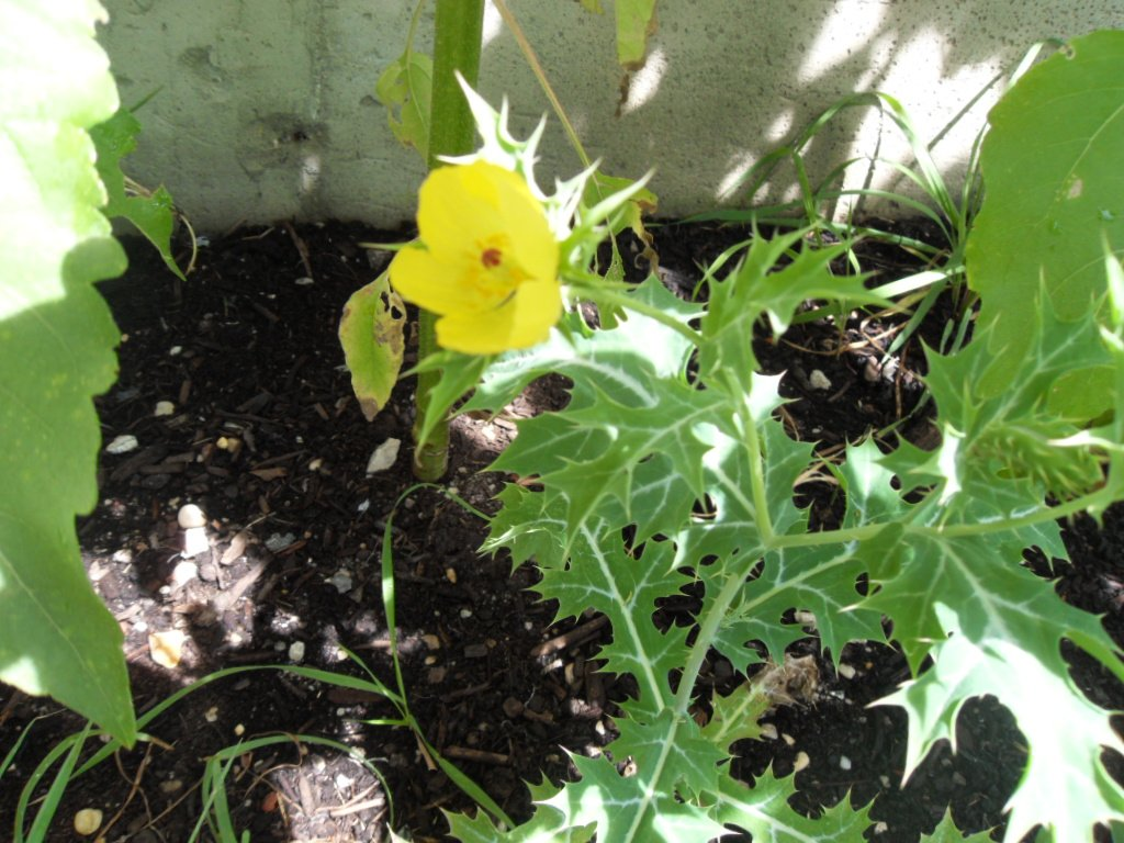 Argemone Mexicana Seeds (Mexican Prickly Poppy) Cardosanto
